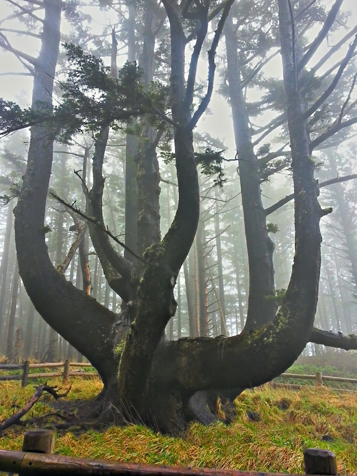 Octopus Tree, Tillamook County, Oregon Coast, Foggy.jpg